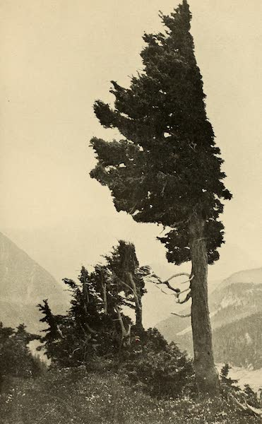 A Day in the Siskiyous - A Wind-Buffeted Sentinel (1916)