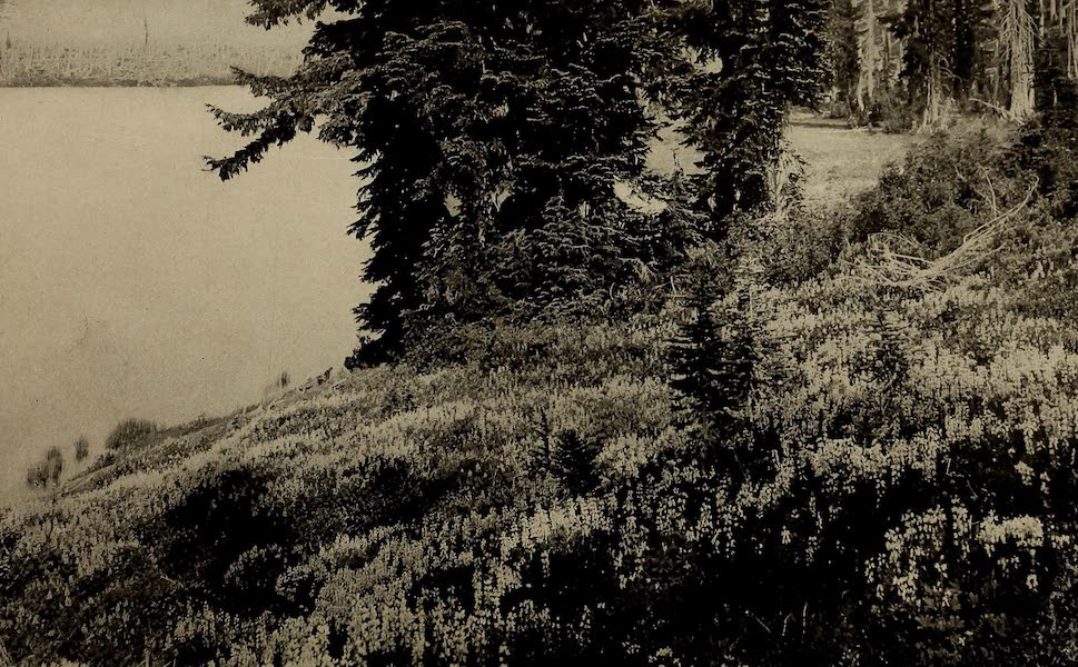 A Day in the Siskiyous - The Blue Bloom of the Mountain Lupine (1916)