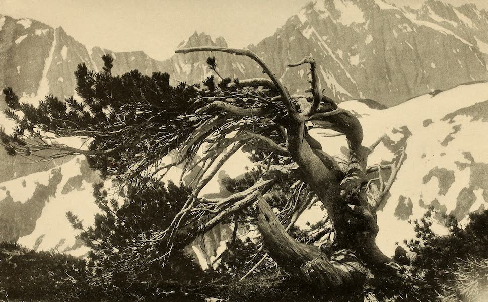 A Day in the Siskiyous - Mountain Pines (1916)