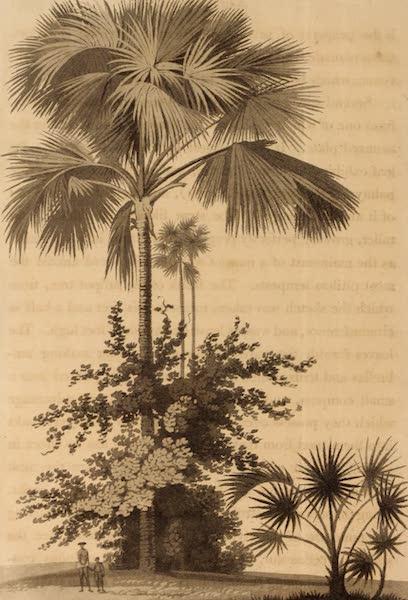 A Description of Ceylon Vol. 1 - A Talipot Tree on Batticaloe (1807)