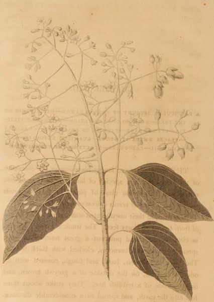 A Description of Ceylon Vol. 1 - Laurus Cinnamonum (1807)