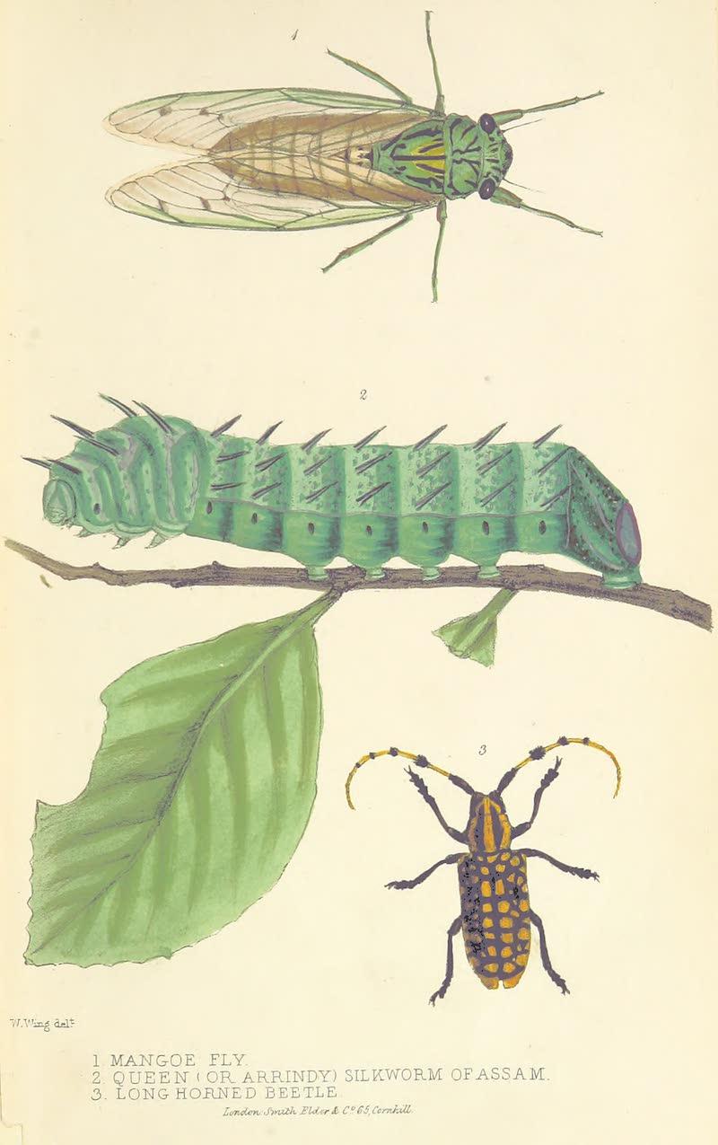 A Sketch of Assam - (1) Mangoe Fly (2) Queen (or Arrindy) Silkworm of Assam (3) Long Horned Beetle (1847)