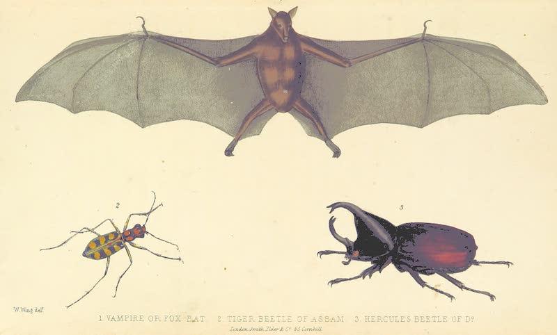 A Sketch of Assam - (1) Vampire of Fox Bat (2) Tiger Beetle of Assam (3) Hercules Beetle of Assam (1847)