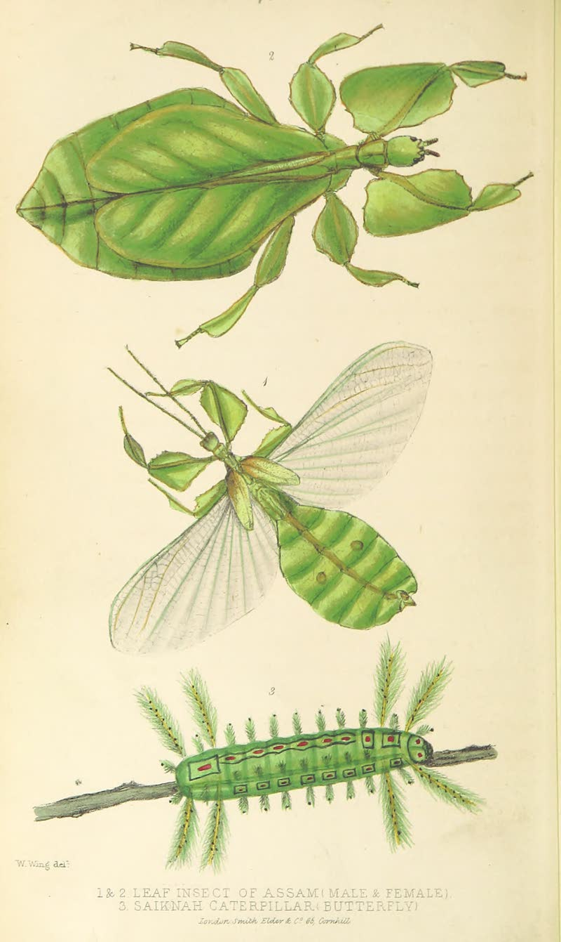 A Sketch of Assam - (1-2) Leaf Insect of Assam (male & female) (3) Saiknah Caterpillar (butterfly) (1847)