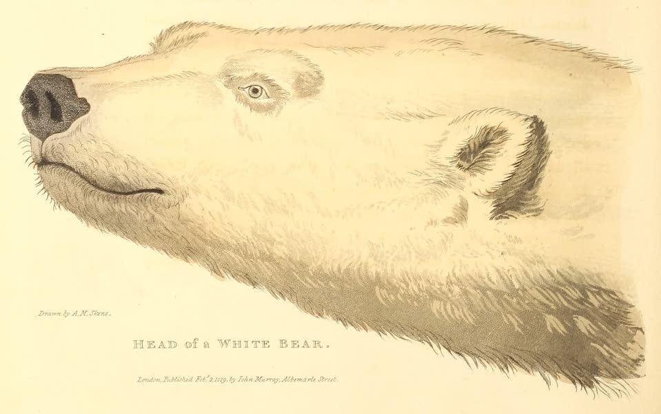 Head of a White Bear