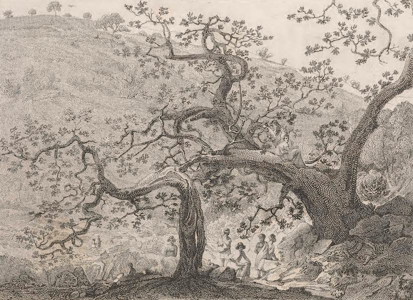 A Voyage to Abyssinia - Sketch of a Daro-Tree at the bottom of Taranta (1814)