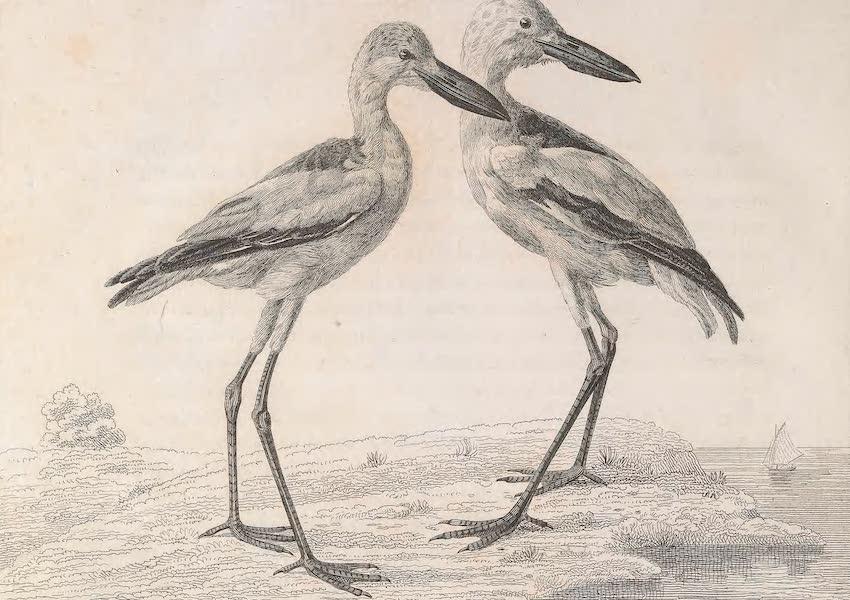 A Voyage to Abyssinia - Erodia Amphilensis (1814)