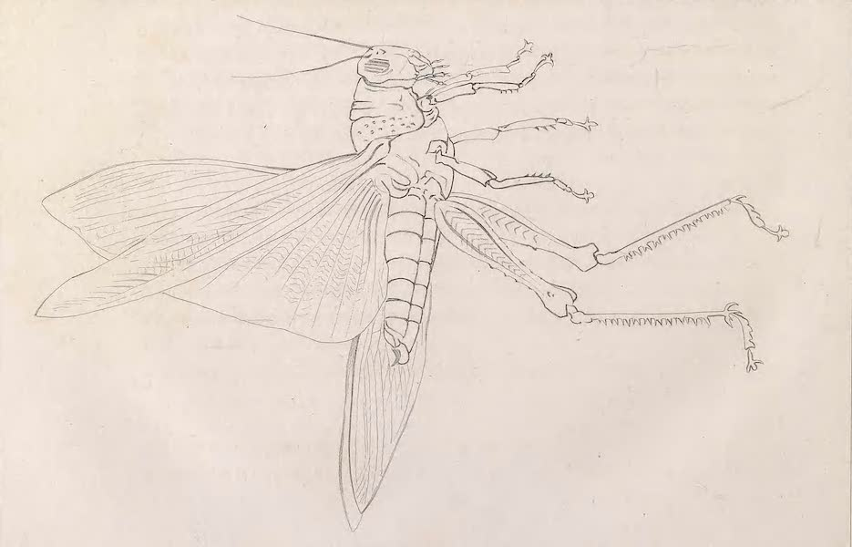 A Voyage to Abyssinia - Abyssinian Locust (1814)