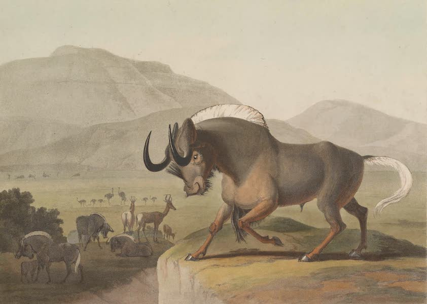 African Scenery and Animals - The Gnoo (1804)