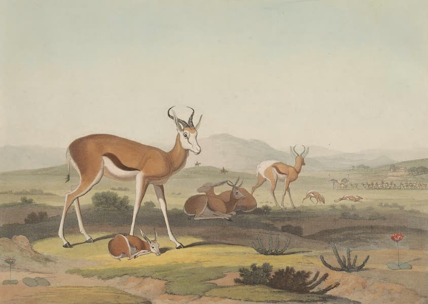 African Scenery and Animals - Spring-Bok (1804)