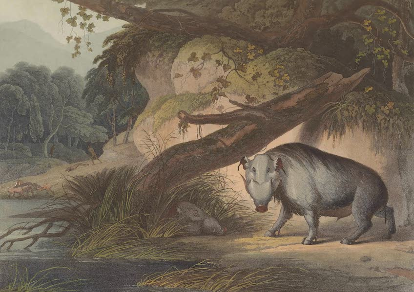 African Scenery and Animals - The African Hog (1804)