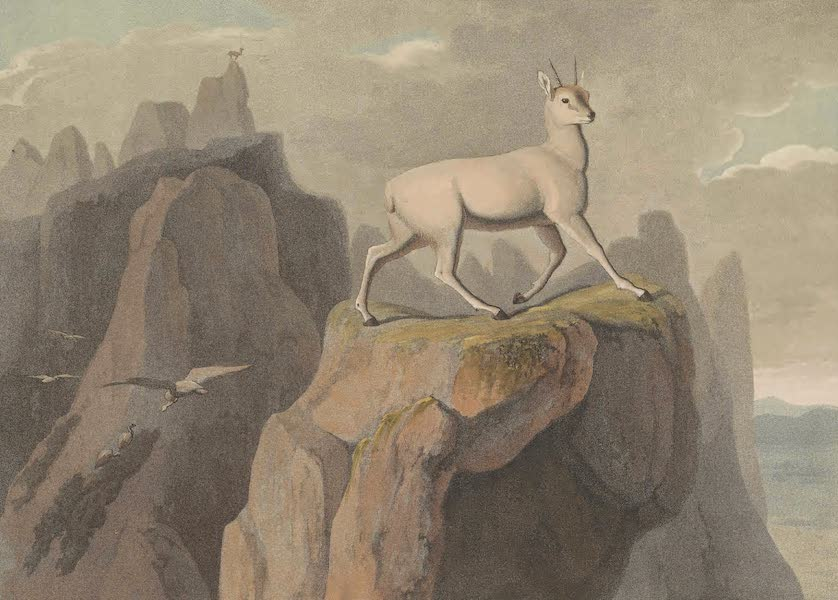 African Scenery and Animals - The Klip-Springer (1804)