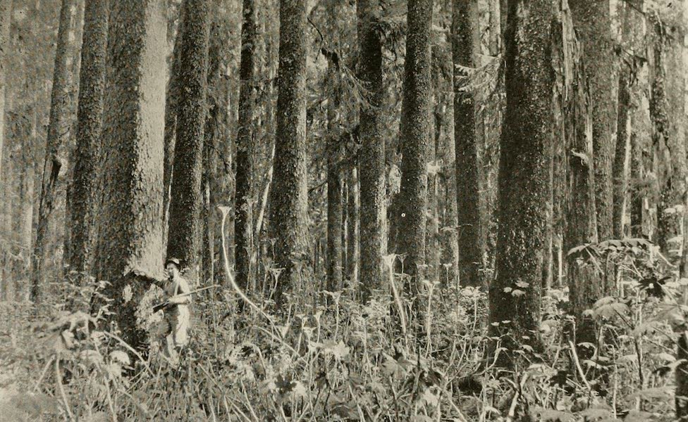 Alaska, Our Beautiful Northland of Opportunity - Spruce Trees, Sitka (1919)
