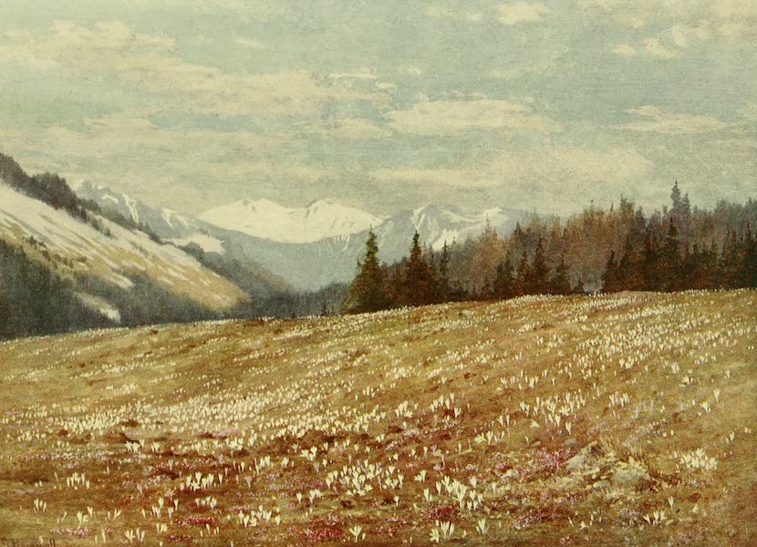 Alpine Flowers and Gardens, Painted and Described - Crocus and Soldanella at Les Plans (1910)