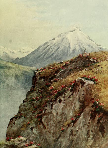 Alpine Flowers and Gardens, Painted and Described - Primula viscosa above Vernayaz, in the Rhone Valley (1910)