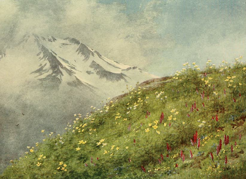 Alpine Flowers and Gardens, Painted and Described - The Sulphur Anemone at the Col de la Forclaz (1910)