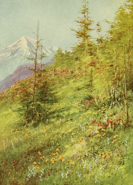 Alpine Flowers and Gardens, Painted and Described - Arnica and Campanula barbata on the Col de la Forclaz (1910)