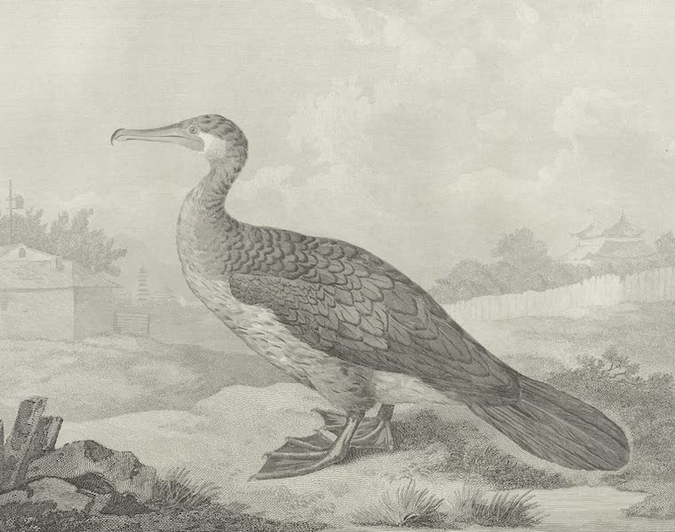 An Authentic Account of an Embassy from the King of Great Britain to the Emperor of China [Vol. 3: Plates] - The Pelicanus Sinensis, or fishing corvorant of China (1797)