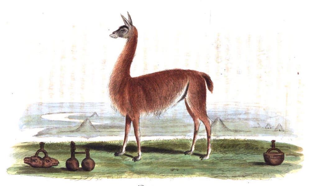 An Historical and Descriptive Account of the Peruvian Sheep - Llama (1811)