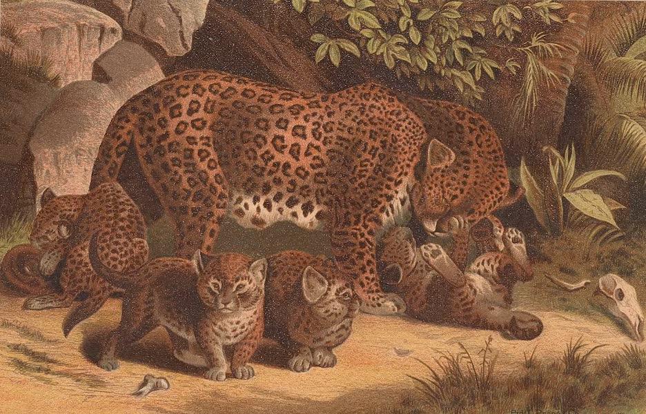 Animate Creation Vol. 1 - Leopard (1885)