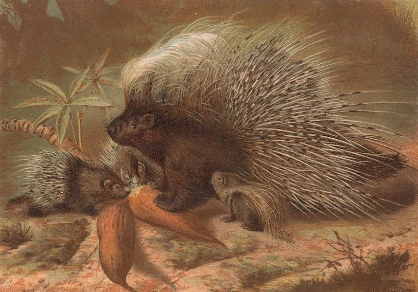 Animate Creation Vol. 1 - Porcupine (1885)