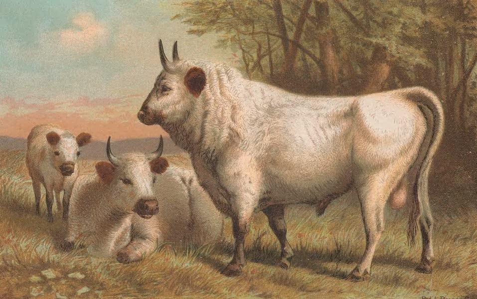 Animate Creation Vol. 1 - Chillingham Cattle (1885)
