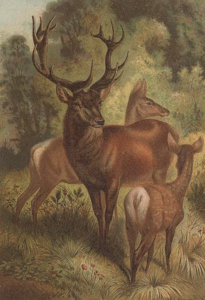 Animate Creation Vol. 1 - Stag or Red Deer (1885)