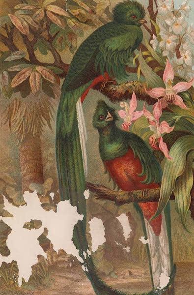 Animate Creation Vol. 2 - Resplendent Trogon (1885)