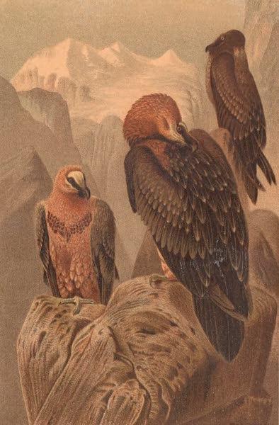 Animate Creation Vol. 2 - Lammergeyer (1885)