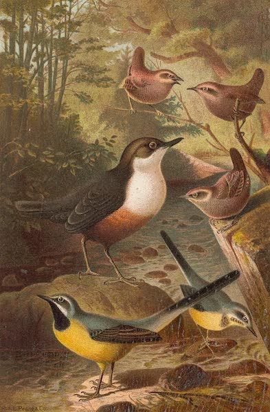 Animate Creation Vol. 2 - Dipper Wagtails and Wrens (1885)