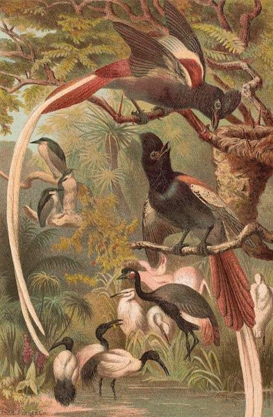 Animate Creation Vol. 2 - Paradise Flycatchers (1885)