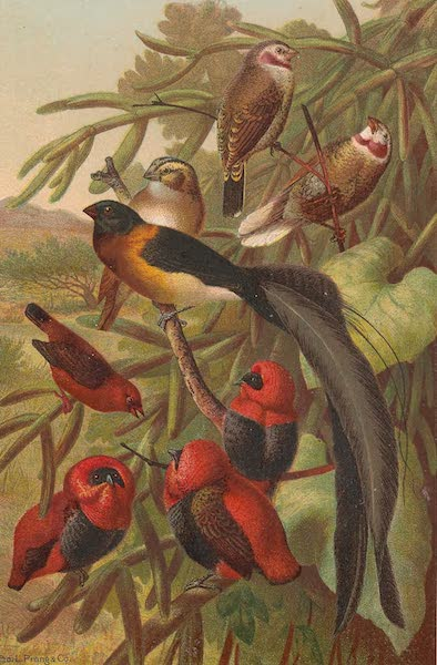 Animate Creation Vol. 2 - Weaver Birds (1885)