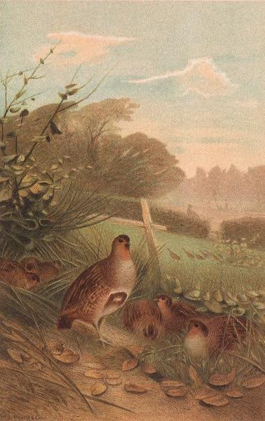 Animate Creation Vol. 2 - Partridge (1885)