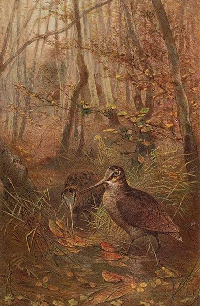 Animate Creation Vol. 2 - Woodcock (1885)