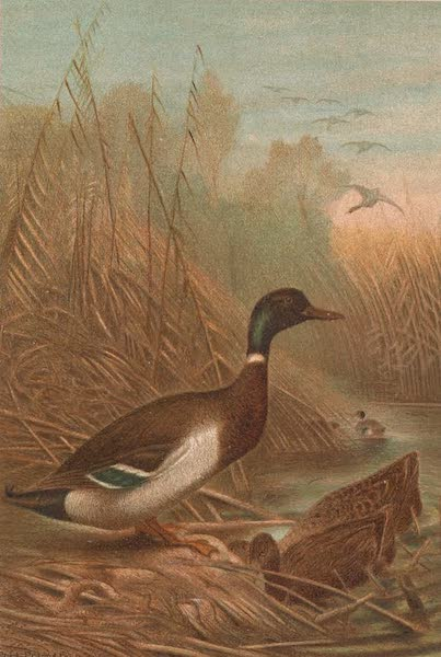 Animate Creation Vol. 2 - Mallard Duck (1885)