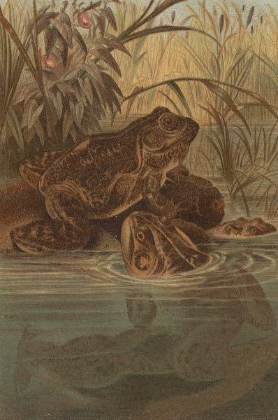 Animate Creation Vol. 3 - Bull Frog (1885)