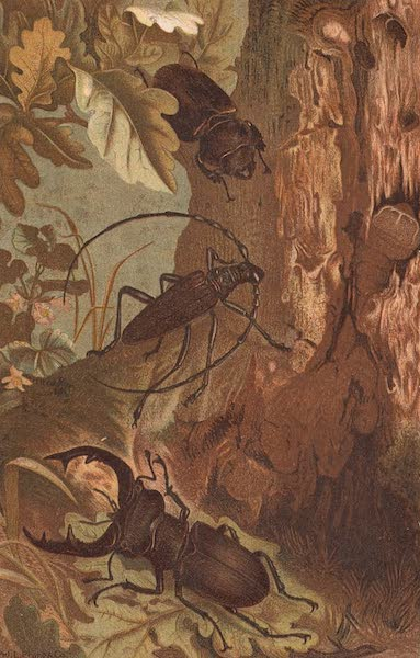 Animate Creation Vol. 3 - Stag Beetle and Longicorn Beetle (1885)