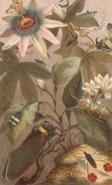 Animate Creation Vol. 3 - Cicadae Lantern Fly etc. (1885)