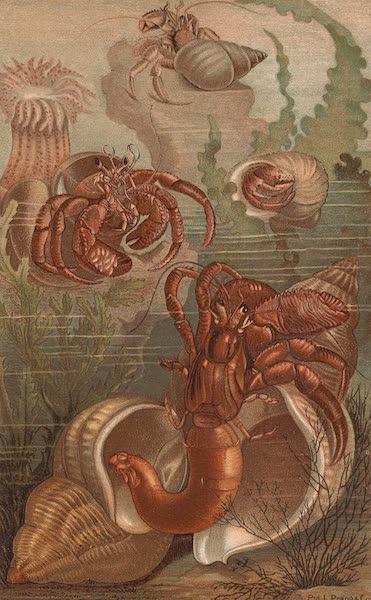 Animate Creation Vol. 3 - Hermit Crabs (1885)