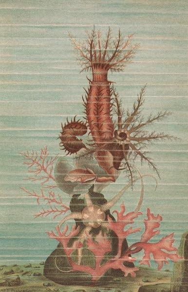 Animate Creation Vol. 3 - Holothurians and Sea Star (1885)