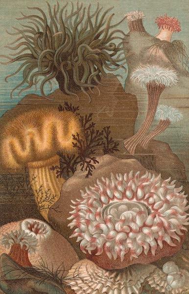 Animate Creation Vol. 3 - Sea Anemones (1885)