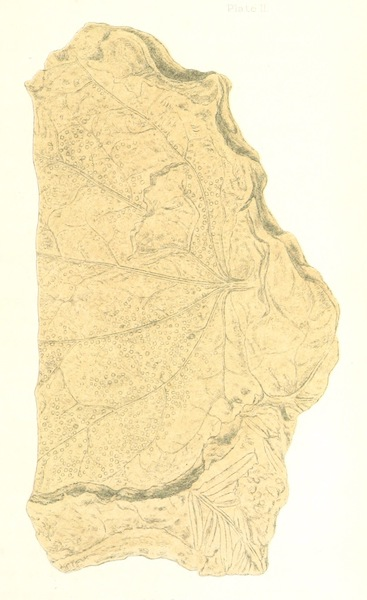 Arctic Searching Expedition Vol. 1 - Fossil Leaf (1851)