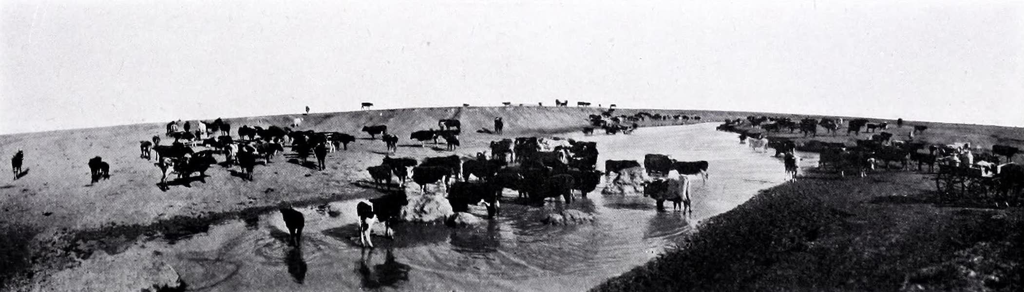 A Herd At Noonday