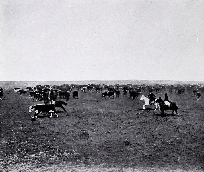 Argentina, Past and Present - Cattle Punching (1914)