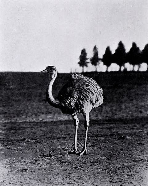 Argentina, Past and Present - Wingfield's Charm : A Sire at the Estancia La Independencia (1914)