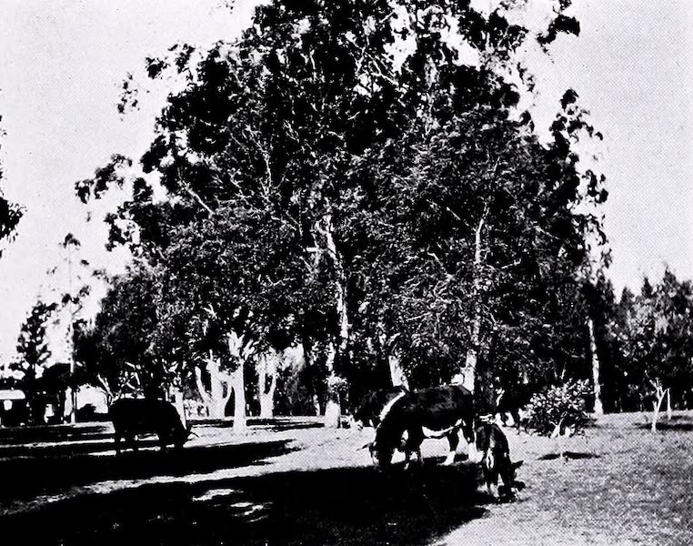 Argentina, Past and Present - In the Shade of the Eucalyptus (1914)