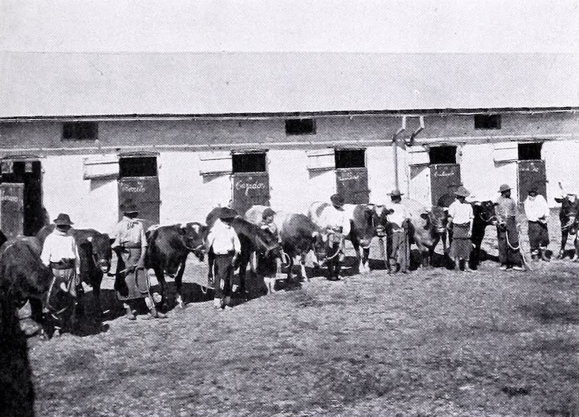Argentina, Past and Present - Pedigree CattleEwes and Lambs at Las Cabezas (1914)