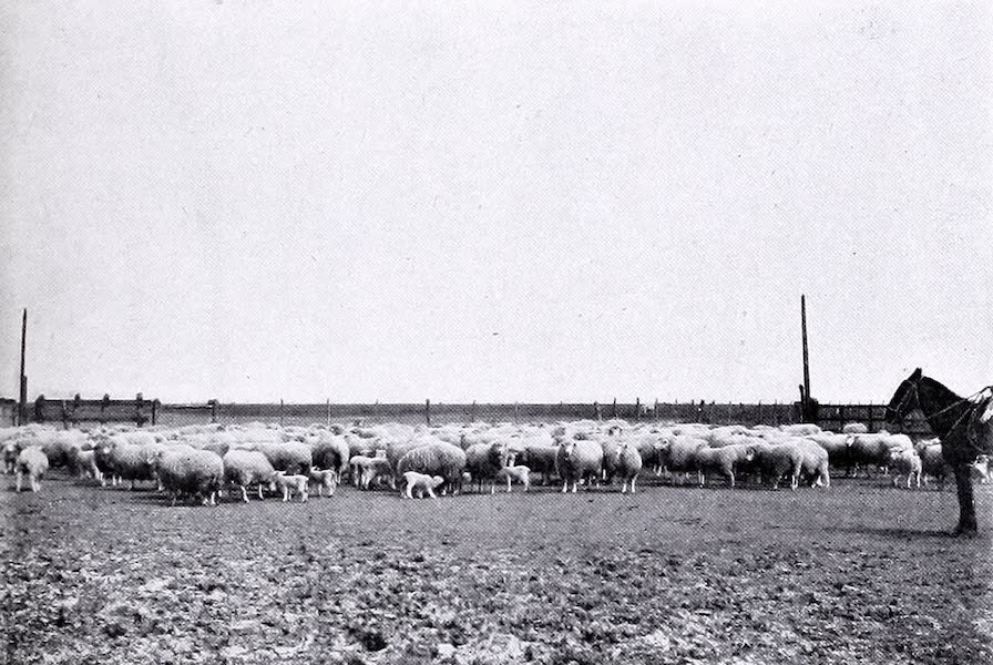 Argentina, Past and Present - Ewes and Lambs at Las Cabezas (1914)