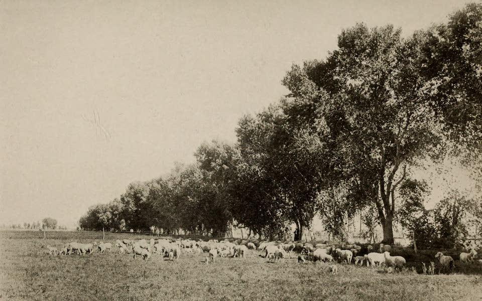 Arizona, The Wonderland - Pasturing Sheep in the Salt River Valley, near Phoenix, Arizona (1917)