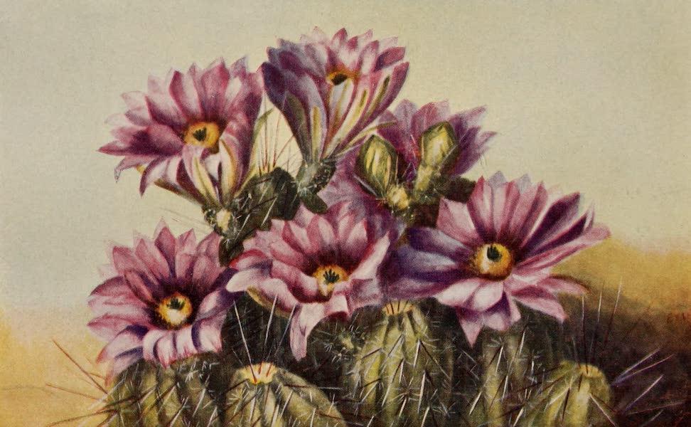 Arizona, The Wonderland - Flowers of the Prickly Pear, One of the Desert Cacti of Arizona (1917)